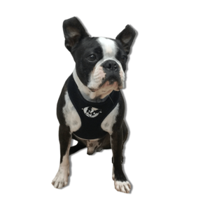 Boston Terrier Harness - Boston Terrier Rescue Of Florida
