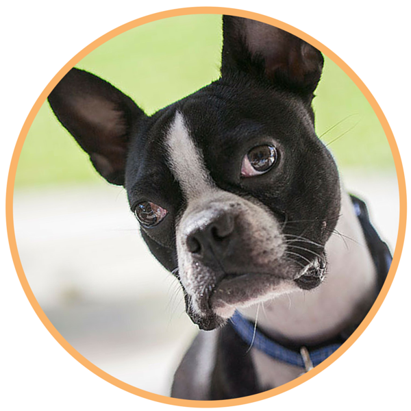 boston terrier rescue fl adoption process boston terrier rescue of florida 3386