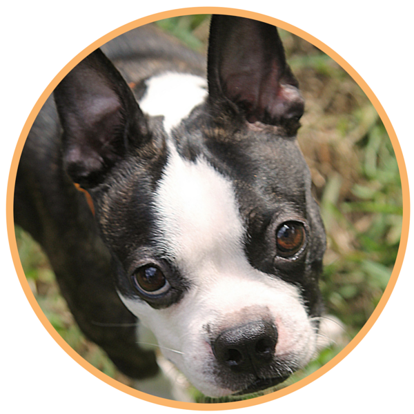 boston terrier rescue fl faqs boston terrier rescue of florida 3927