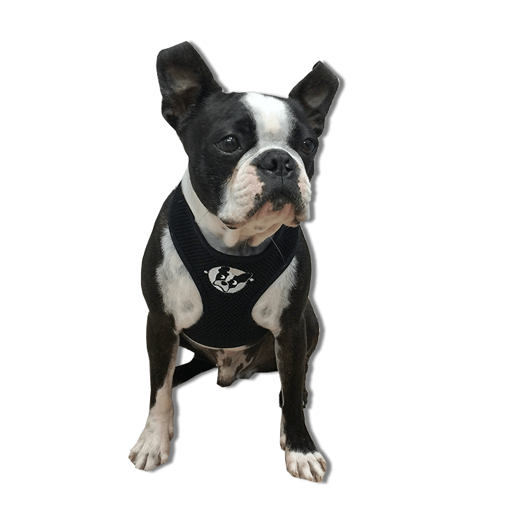 boston terrier rescue fl boston terrier harness boston terrier rescue of florida 732
