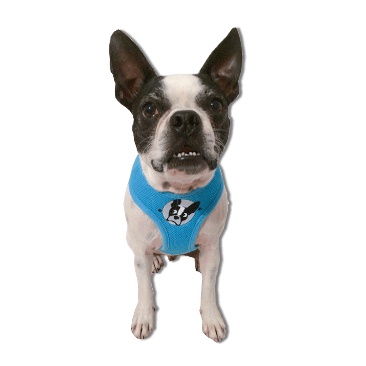 boston terrier rescue fl boston terrier harness boston terrier rescue of florida 8013
