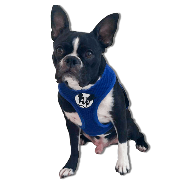 boston terrier rescue fl boston terrier harness boston terrier rescue of florida 9759