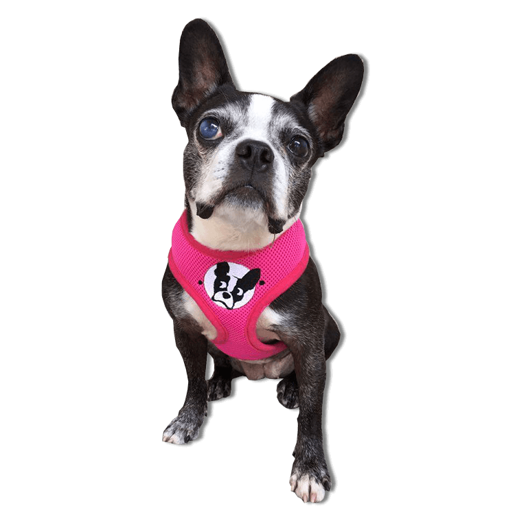 boston terrier rescue fl boston terrier harness boston terrier rescue of florida 7873