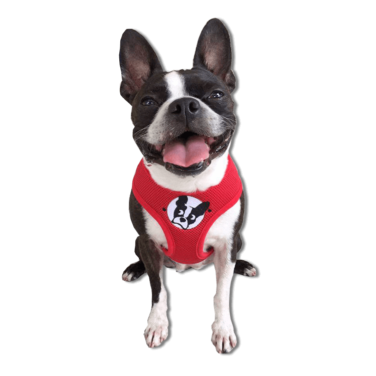 boston terrier rescue fl boston terrier rescue of florida 9626