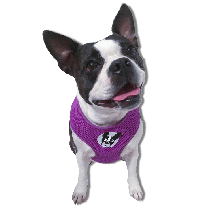 boston terrier rescue fl boston terrier harness boston terrier rescue of florida 3169