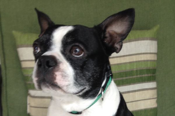boston terrier rescue fl jasper tee 4 boston terrier rescue of florida 7953